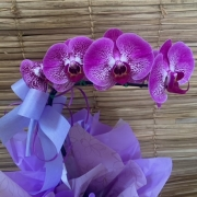 Orquídea Phalaenopsis 1H  20050804 no cachepô
