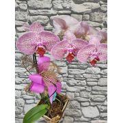 Orquídea Phalaenopsis 1H Hibrida 20050804 no cachepô