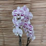Orquídea Phalaenopsis 1H Híbrida no cachepô 24091137
