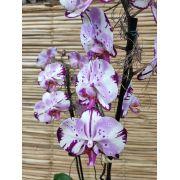 Orquídea Phalaenopsis 2 haste Hibrida 20050807