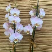 Orquídea Phalaenopsis 2 haste no cachepô 07052028