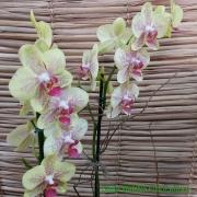 Orquídea Phalaenopsis 2H 06101659