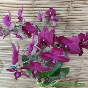 Orquídea Phalaenopsis 2H bordo 17101041
