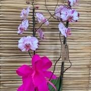 Orquídea Phalaenopsis 2H Hibrida no cachepô 20050809