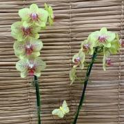 Orquídea Phalaenopsis 2H no cachepô 022105