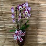 Orquídea Phalaenopsis 2H no cachepô 032105