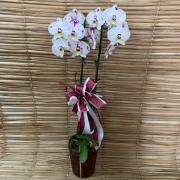 Orquídea Phalaenopsis 2H no cachepô 07052313