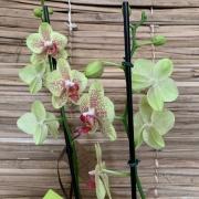Orquídea Phalaenopsis 2H  no cachepô 20050809