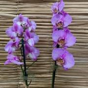 Orquídea Phalaenopsis  2h no cachepô