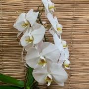 Orquídea Phalaenopsis Cascata 1 haste no cachepô
