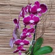 Orquídea Phalaenopsis Cascata 1H no cachepô 012105
