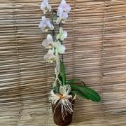 Orquídea Phalaenopsis Cascata Amarela 1H no cachepô