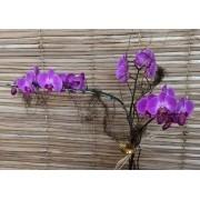 Orquídea Phalaenopsis Cor-de-rosa 2H