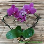 Orquídea Phalaenopsis coração 2H no cachepô 17101131