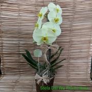 Orquídea Phalaenopsis Creme Cascata 1 haste no cachepô 09101404