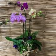 Orquídeas 3 Phalaenopsis 1H  na cuia