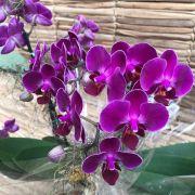 Orquídea Phalaenopsis Mini 190508001 no cachepô