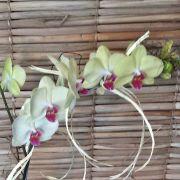 Orquídea Phalaenopsis amarela 2H