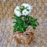 Rosa do Deserto Branca dobrada no cachepô