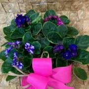 Violetas espetaculares