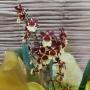 Orquídea Oncidium amarela no cachepô 06101519