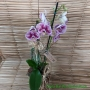 Orquídea Phalaenopsis 2H Híbrida no cachepô 09101009