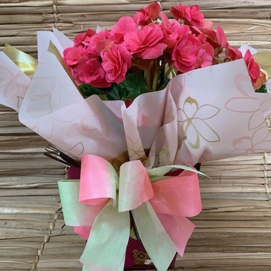 Begônia cor de rosa no cachepô