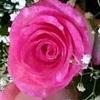 Rosa Cor-de-rosa
