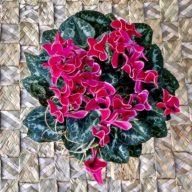 Cyclamen Rosa no cachepô
