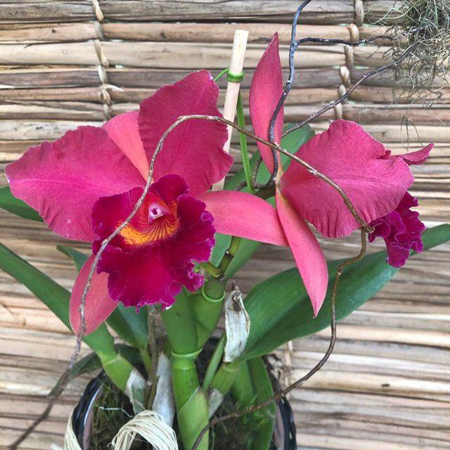 Orquídea Cattleya 190508002 no cachepô