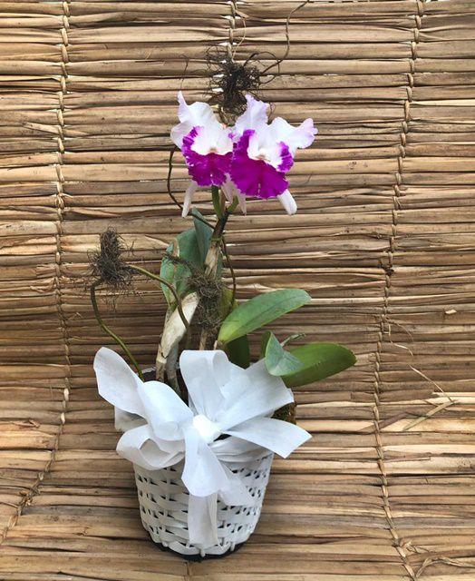 Orquídea Cattleya 190508005 no cachepô