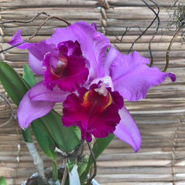 Orquídea Cattleya Lilas 190508003 no cachepô
