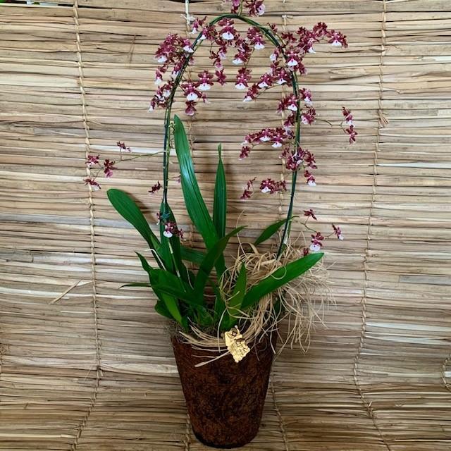 Orquídea Chocolate no cahcepô