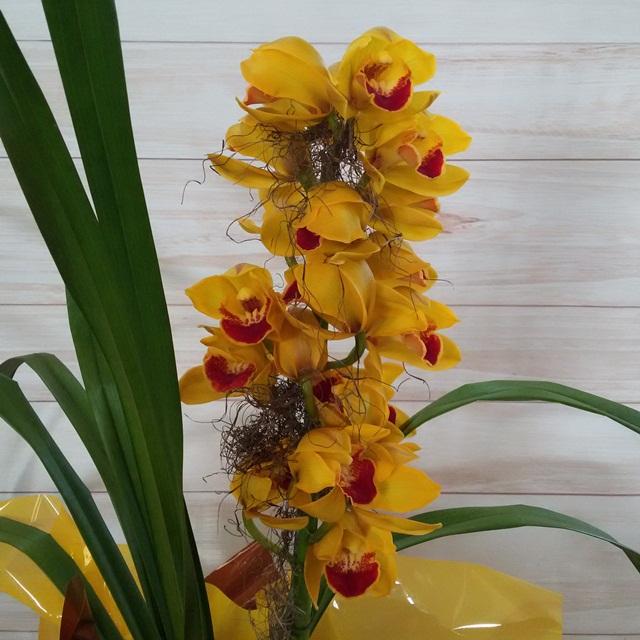 Orquídea Cymbidium amarelo ouro 1 haste