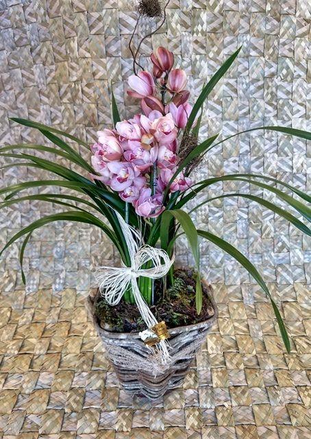 Orquídea Cymbidium cor de rosa 2 haste no cachepô