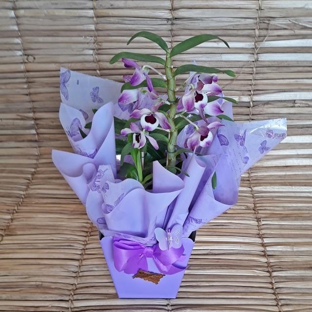 Orquídea Dendrobium PT-15 no cachepô paper
