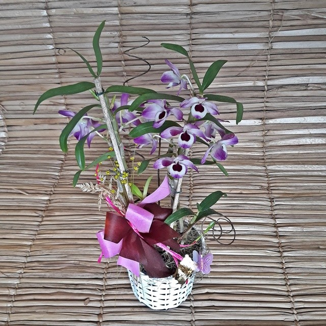 Orquídea Dendrobium PT-15 no cachepô Ratan