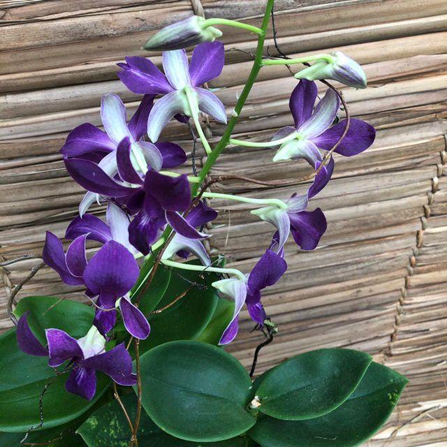 Orquídea Denfal 190508006 no cachepô