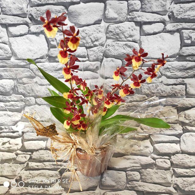 Orquídea Oncidium P-11 vermelho e amarelo no cachepô de cerâmica