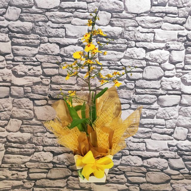 Orquídea Oncidium PT-15 no cachepô
