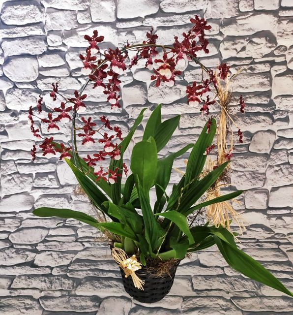 "Orquídea Oncidium Sharry Baby ""chocolate"" no cachepô"