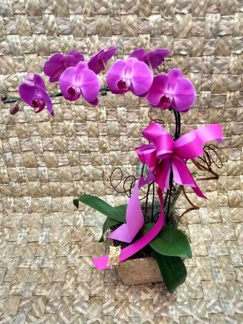 Orquídea Phalaenopsis 1HA Pink no cachepô