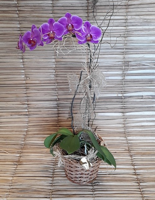 Orquídea Phalaenopsis 1H Hibrida 180503001 no cachepô