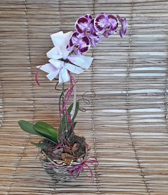 Orquídea Phalaenopsis 1H Hibrida 180503003 no cachepô