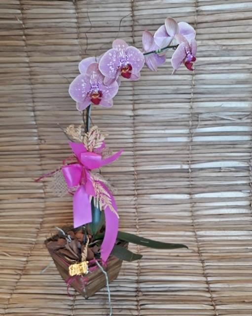 Orquídea Phalaenopsis 1H Hibrida 180503004 no cachepô