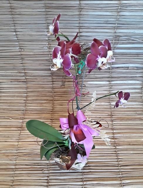 Orquídea Phalaenopsis 1H Hibrida 180503005 no cachepô