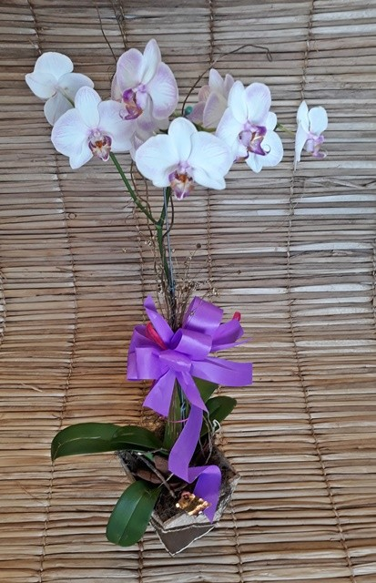 Orquídea Phalaenopsis 1H Hibrida 180504002 no cachepô