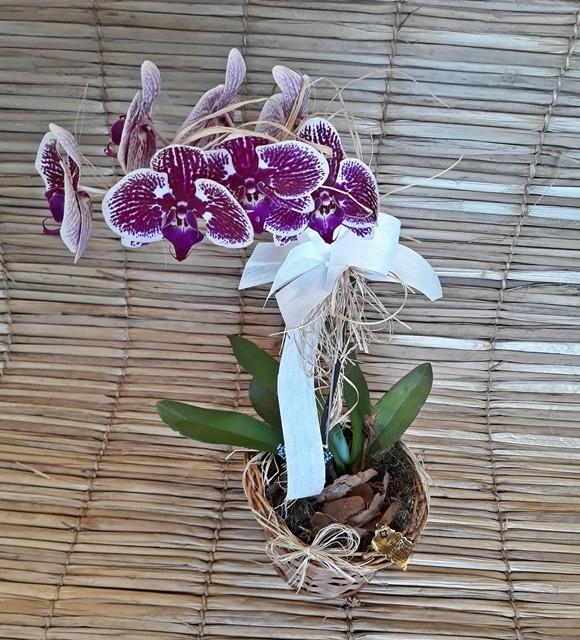 Orquídea Phalaenopsis 1H Hibrida 180504003 no cachepô
