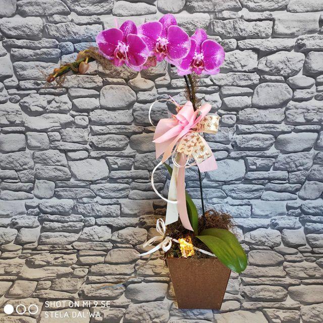 Orquídea Phalaenopsis 1H Hibrida 190529002 no cachepô