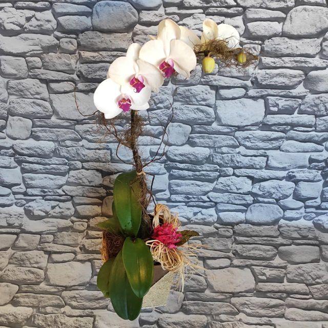 Orquídea Phalaenopsis 1H Hibrida 190529003 no cachepô
